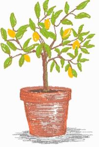 Culture des agrumes en pot